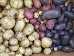The potato harvest from our 4'x4' potato box.